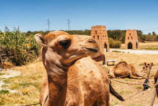 モロッコのラクダとヒトコブラクダ