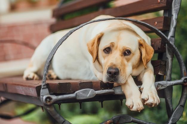 Лабрадор сидит на скамейке в парке. собака ждет своего друга и смотрит вдаль грустными глазами.