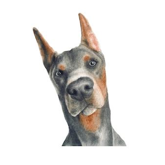 ドーベルマン犬の水彩イラスト