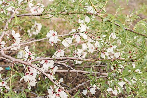 Красивые цветы миндаля в дереве с зеленым фоном из листьев и ветвей весной