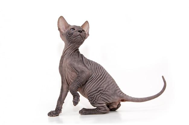 白い背景の上の面白いスフィンクス子猫。
