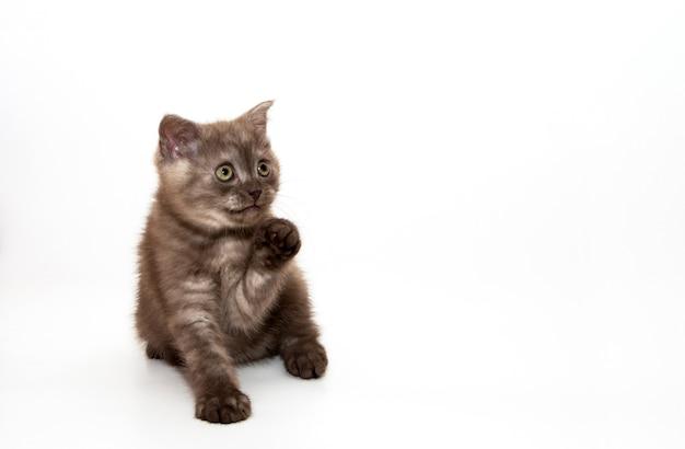 Маленькая шоколадная кошечка. на белом фоне.