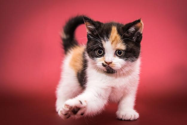 Игривый разноцветный котенок, черный, белый и рыжий.