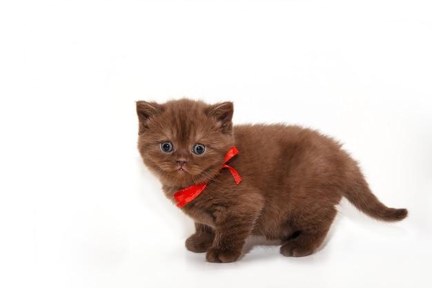 Пушистый шоколадный котенок с красным бантом на белом фоне.