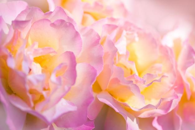 繊細なピンクのバラ。