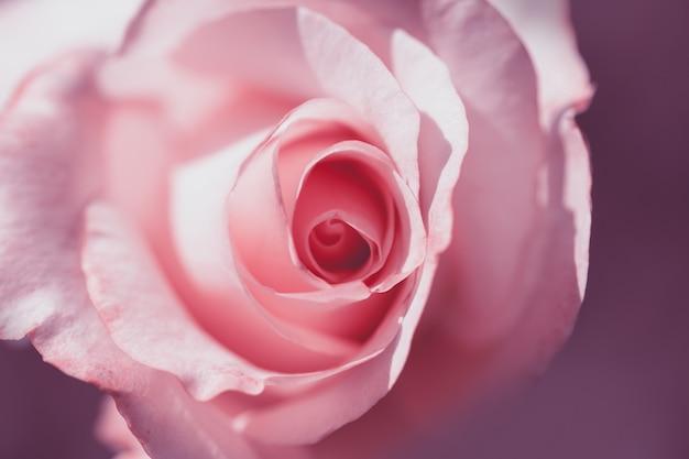 Нежная розовая роза крупным планом