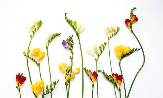 美しい春のフリージアの花