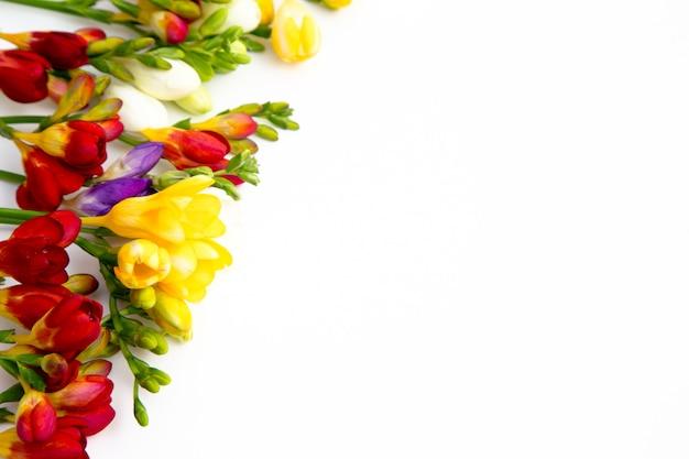Красивые весенние цветы фрезии на белом фоне.