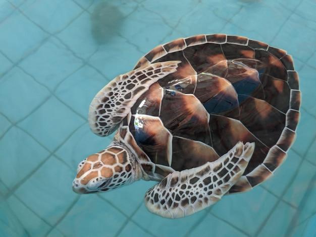 ウミガメは保護池で泳ぐ