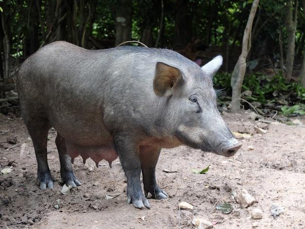 Большая черная свинья нюхает землю