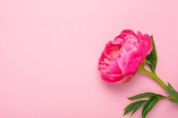 Красивый розовый цветок пиона на пастельном розовом