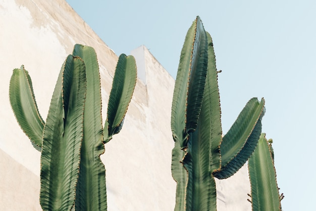 Кактусы на открытом воздухе