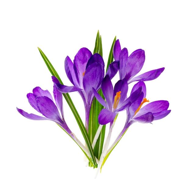 Фиолетовые крокусы, изолированные на белом