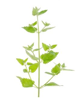 摘みたての白い背景で隔離の葉と緑のレモンバームガーデンブランチ