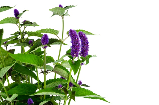 青い花序を持つ新鮮な芳香性ハーブの束