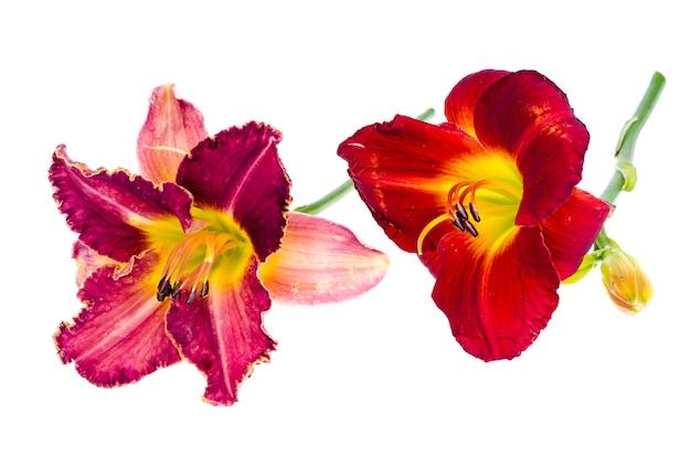 ピンクのカンゾウの花の庭