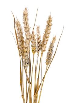 白い背景のライ麦の耳を持つ成熟した茎。