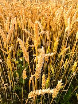 夕方、太陽のフィールドでライ麦のスパイク。