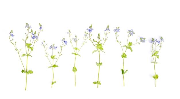 白で隔離される青いヴェロニカ花