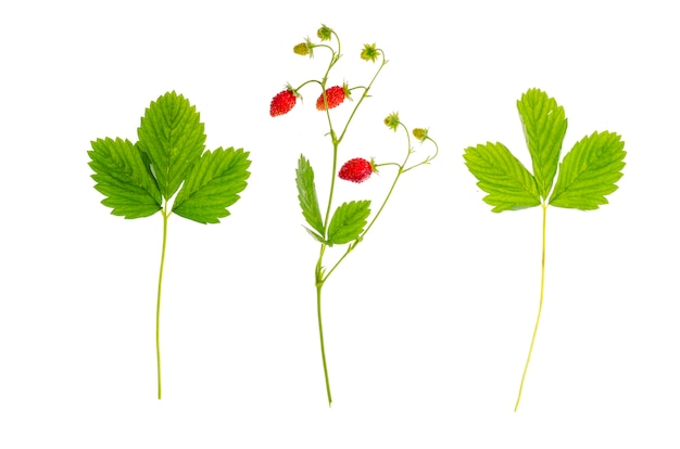 Ветка клубники со спелыми красными ягодами и зелеными листьями