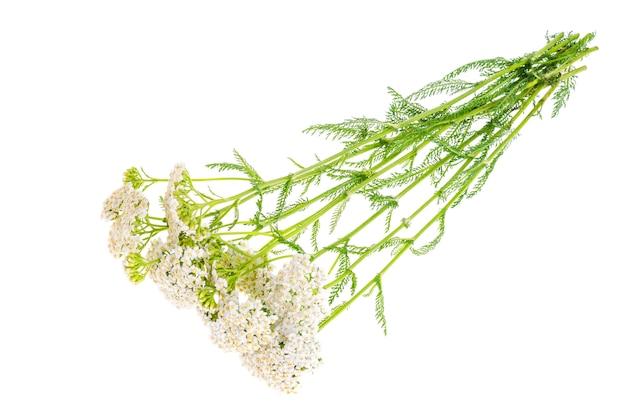 白で隔離ノコギリソウの花の束