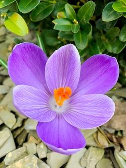 Первые весенние цветы фиолетовых крокусов растут в грунте