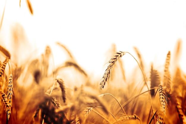 オレンジ色のトーンでの麦畑