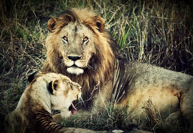 ライオンと雌ライオン