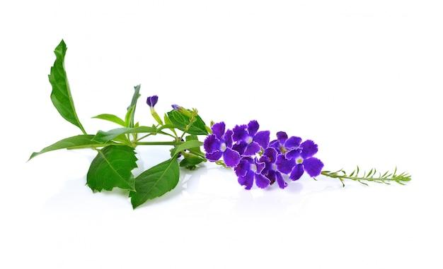 Фиолетовые цветы, изолированные на белом