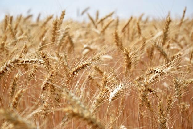 「風の中で成長する小麦」