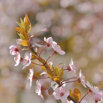 «цветущая ветка яблони»