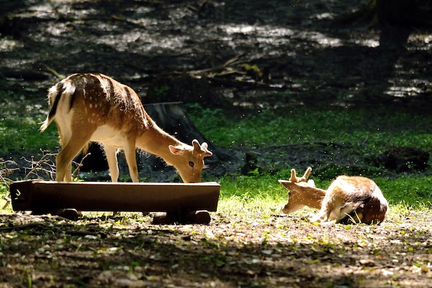 「自然に食べる鹿」