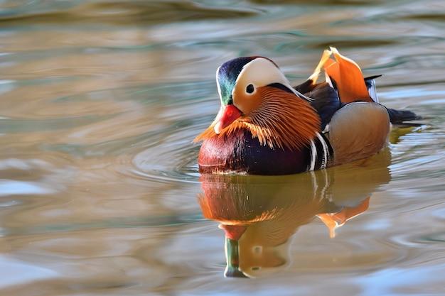 湖で鳥水泳