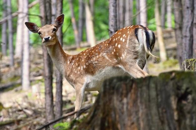 Дикий олень в лесу