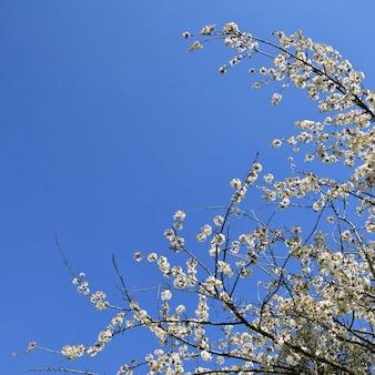 美しい咲く果物の木の枝。美しい開花の木。太陽と白とピンクの花