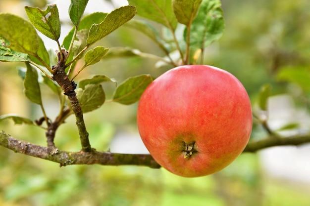 リンゴ、木にぶら下がっている