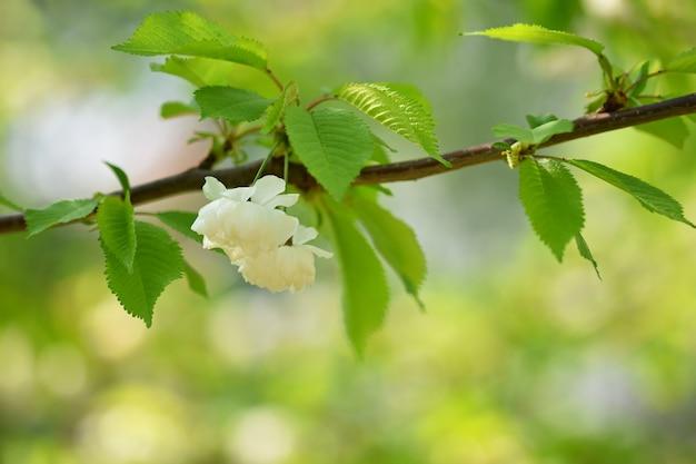 花の木。晴れた日の自然の背景。春の花。美しい果樹園と抽象的なぼかし