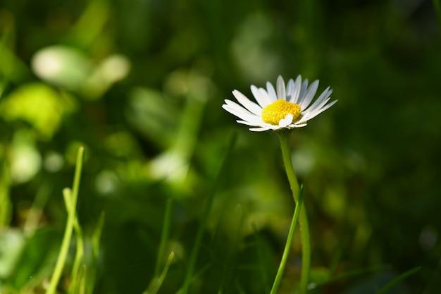 春。春の牧草地で美しい咲くデイジー。抽象的な背景をぼかします。