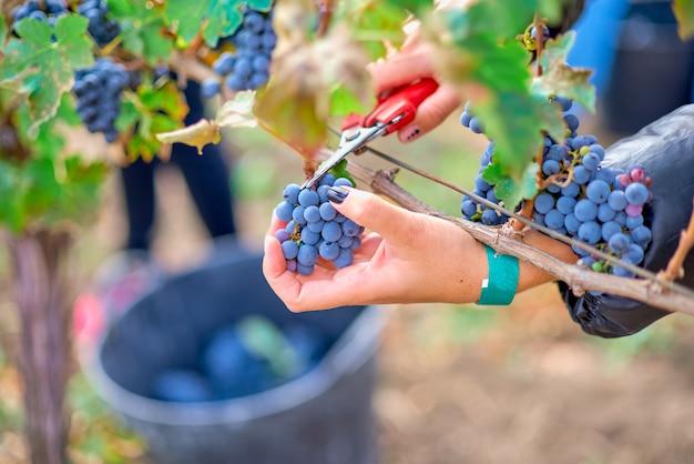 ワインの収穫中にブドウから赤ブドウを切る労働者の手のクローズアップ。