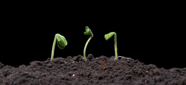 種子から成長している緑のカボチャの芽。新しい生活、自然の写真、暗い背景。