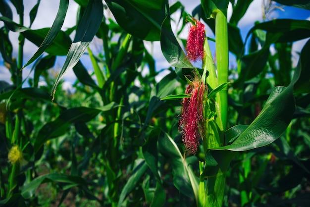 青い空の壁のある農園の緑のトウモロコシ畑。夏