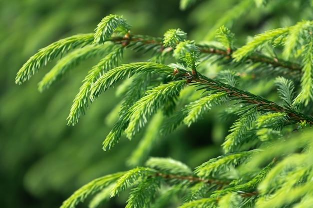 ぼやけた緑の明るい緑の若いスプルースの枝を閉じる