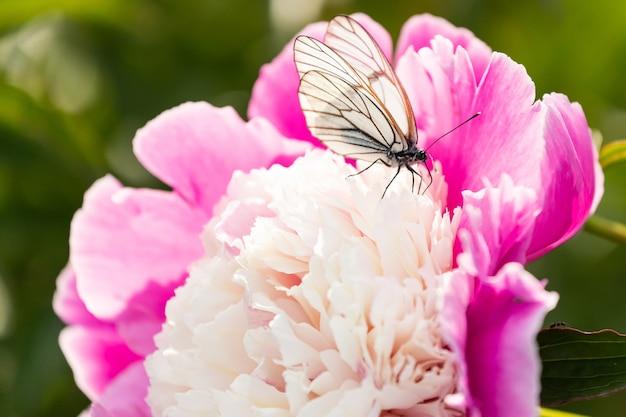 Крупный план белой бабочки, сидящей на розовом пышном цветке пиона, на размытом зеленом цвете