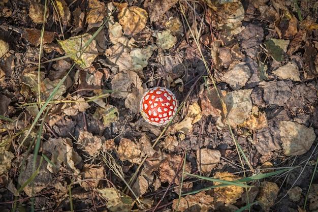 赤い帽子と大きなキノコテングタケ