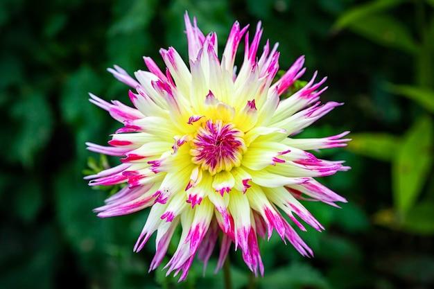 Макро красивый свежий розово-желтый цветок георгин на фоне травы