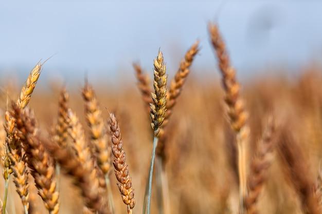 小麦畑。黄金の小麦の耳がクローズアップ。美しい自然の夕日の風景。