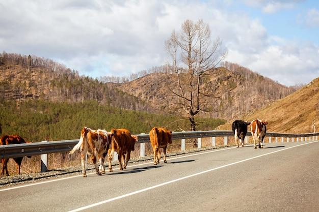 Стадо бурых коров гуляет по шоссе в гористой местности в теплый солнечный летний день в горах алтая.