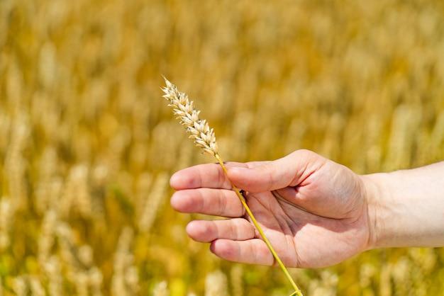 Человек держит в руке стебель спелой пшеницы на поле летом.