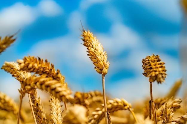 晴れた日に青空に小麦の茎が描かれています