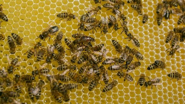 蜂の女王。ハニカム上の蜂。ミツバチの巣箱のフレーム。蜂蜜細胞の働き蜂のビューを閉じます。ハニカム上の働き蜂